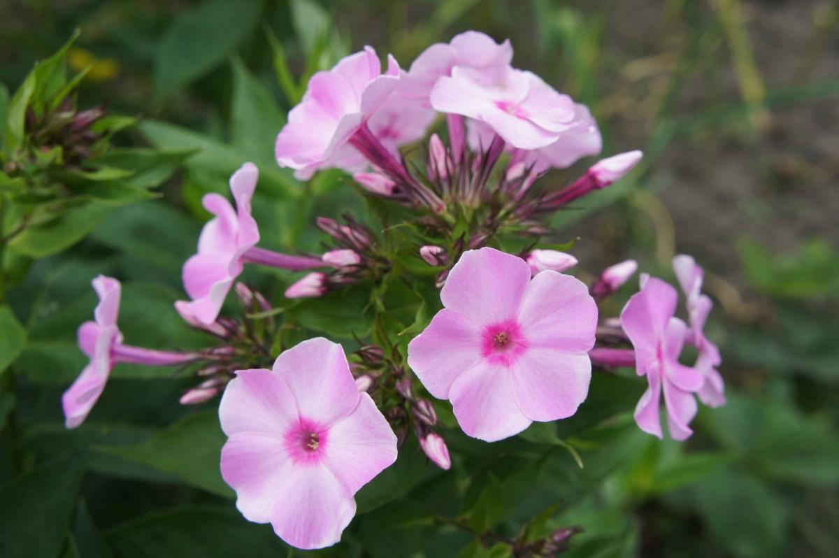 kwiat6